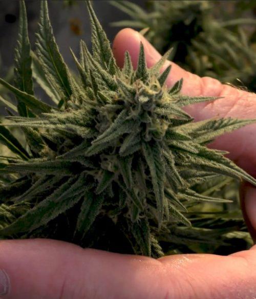 Hand holding hemp flower